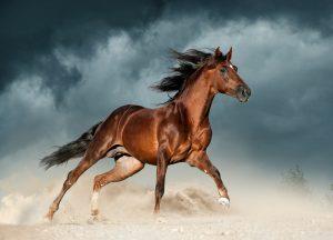 Andalusierpferd Brauner
