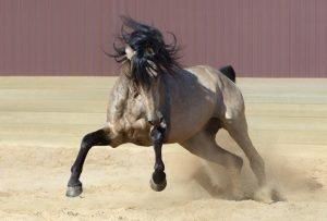 Andalusierpferd