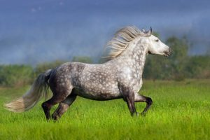 Andalusierpferd vom Pferdemarkt