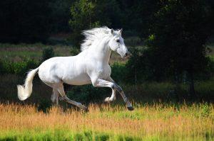 Andalusierpferd Schimmel