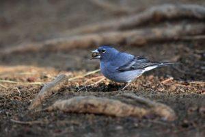 blauer Fink mit Korn
