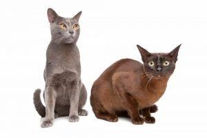 zwei burma katzen in grau und braun