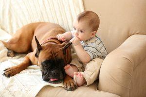 deutscher boxer mit baby auf sofa