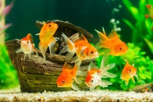 sieben goldfische vor holzschiff in aquarium für fische