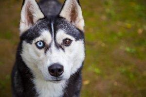 husky verschiedenfarbige augen