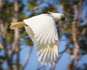 Zur artgerechten Haltung braucht ein Kakadu Freiflug