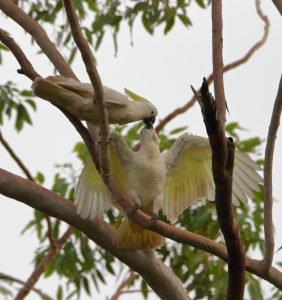 Gelbhaubenkakadu ernährt sein Kakadubaby