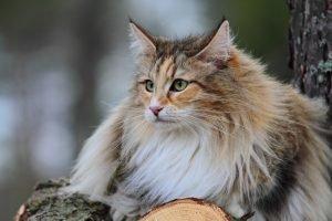 Norwegische Waldkatze auf einem Baumstamm