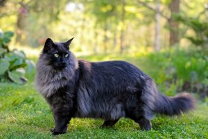 Norwegische Waldkatze in schwarz-tabby im Wald