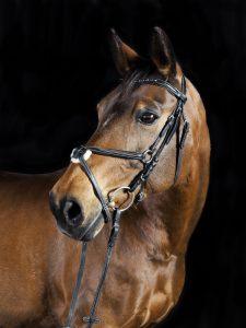 kopf eines oldenburger pferdes (Nahansicht)