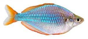 diamant regenbogenfisch mit weißem hintergrund