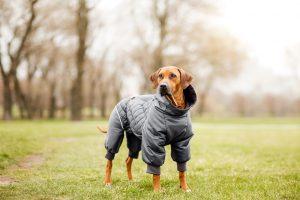 rhodesian ridgeback im winter mit mantel