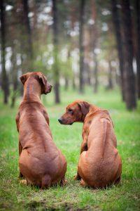 2 rhodesian ridgeback sitzen, kamm gut sichtbar