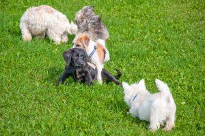 Spielende Welpen in der Hundeschule