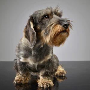 Rauhaardackel Hund Saufarben