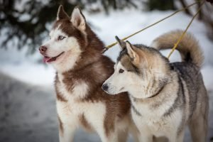 huskys polarhunde unterschiedliche farben