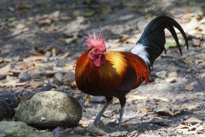 alte Hühnerrassen natur gockel