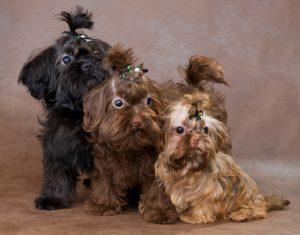 drei bolonka zwetna welpen in schwarz braun und blond