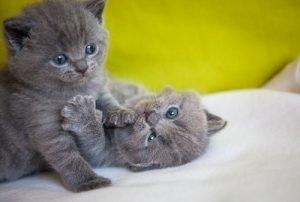 zwei kartäuser babys spielen