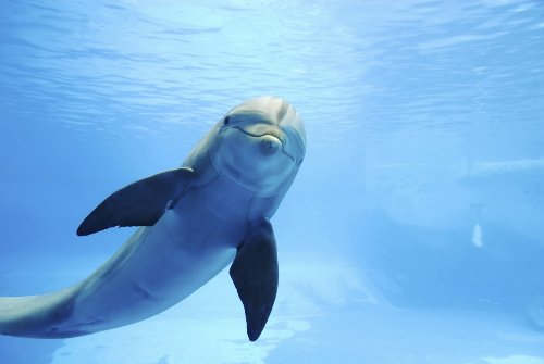 Dolphin is swimming