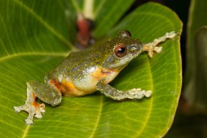 Grüner Frosch auf einem Blatt