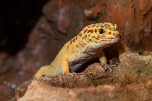 leopardgecko klettert auf felsimitat