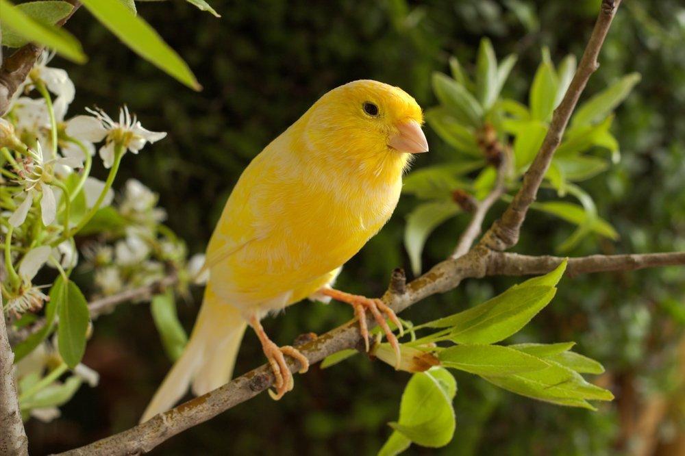 kanarienvogel gelb