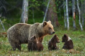 Grizzly Familie