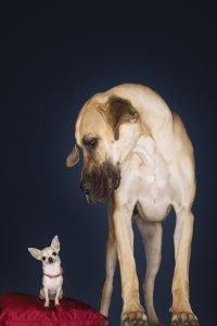 große hunderasse neben wolf
