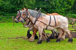 Pferd Rasse Geschirr Halfter Hengst Wallach Stute