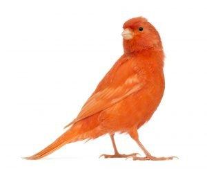 rotorangener kanarienvogel farbenkanarien