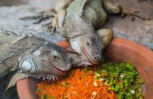 zwei grüne leguane mit frischem gemüse