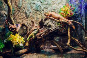 artgerecht eingerichtetes sehr großes terrarium mit zwei leguanen