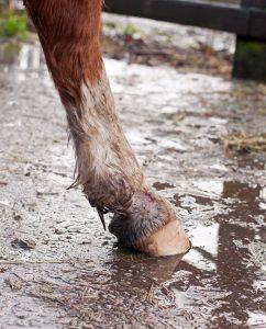 Hautkrankheit Pferd
