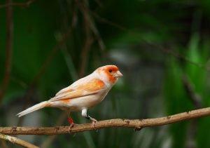 mosaik kanarienvogel