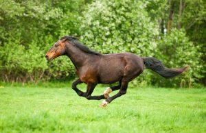 Pferd galoppiert