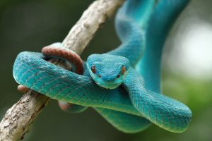 Blaue Viper