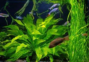 Wasserpflanzen Aquarium