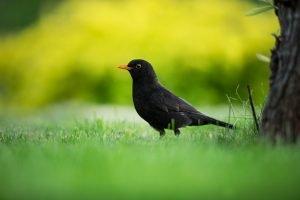 amsel in garten, der häufigste einheimische vögel