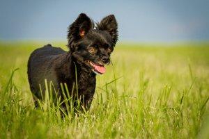 schwarzer chihuahua mischling auf wiese