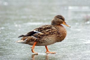 einheimische Vögel im winter: ente auf gefrorenem see