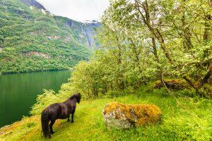 fjordpferd am ufer eines fjords