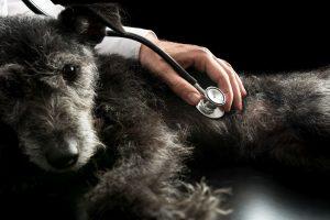 schwarzer hund wird von tierärztin untersucht
