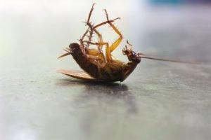 tote kakerlake liegt auf rücken