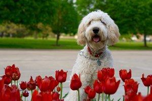 weißer labradoodle hinter roten rosen im park