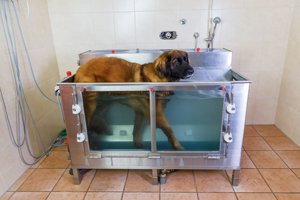 leonberger in hydrotherapie station