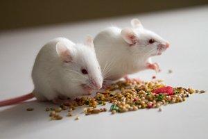 weiße Mäuse fressen Körner