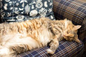 maine coon katze auf couch