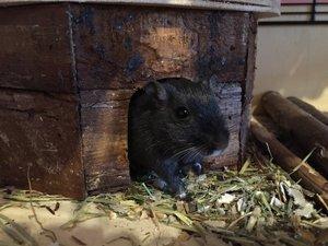 Maus schaut aus Häuschen