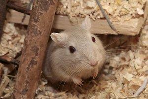 Maus in gut ausgestattetem Käfig
